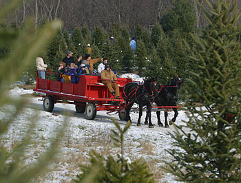 Horse Drawn And Tractor Hayrides To Pick Your Own Christmas Trees At Tree Plantation